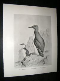 Frohawk 1898 Antique Bird Print. Guillemot